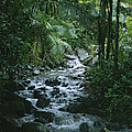 A View Of A Tropical Stream In El by Taylor S. Kennedy