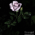 A Vintage Rose by Eva Thomas