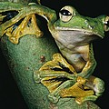 A Wallaces Flying Frog, Rhacophorus by Tim Laman