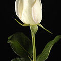 A White Rose Rosaceae by Joel Sartore