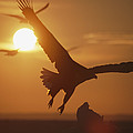 A White-tailed Eagle In Flight by Tim Laman