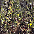 A Whitetail Fawn Odocoileus Virginianus by Sam Abell