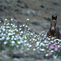 A Wild Horse On A Wildflower Covered by Tim Laman