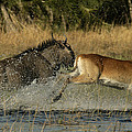 A Wildebeest And A Red Lechwe Leap by Beverly Joubert