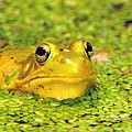 A Yellow Bullfrog by Paul Ward
