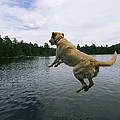 A Yellow Labrador Retriever Jumps by Heather Perry