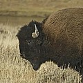 A Yellowstone Bison 9615 by Michael Peychich