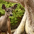 A Young Deer In A Grove Of Rare by Charles Kogod