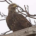 A Young Eagle In The Midst Of Change  by Jeff Swan