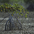 A Young Mangrove Tree by Klaus Nigge