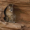 A Young Mountain Lion Rests In A Rocky by Norbert Rosing