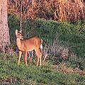Aah Baby - Deer by Travis Truelove