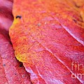 Abstract Dogwood In Autumn by Maria Urso