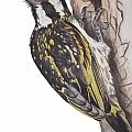 Acacia Pied Barbet by Tracey Beer