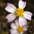 Aceitillo Flower by Raul Gonzalez Perez