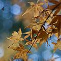 Acer Autumn by Mike Reid