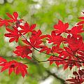 Acer Leaves by Gaspar Avila