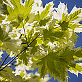Acer Platanoides 'drummondii' by Dr Keith Wheeler