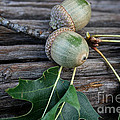 Acorns And Oak Leaves by Susan Herber