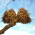 Acorns Have Left The Nest by Kent Lorentzen