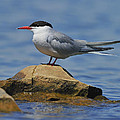 Adult Common Tern by Tony Beck