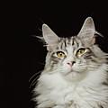 Adult Maine Coon Cat, Close-up by GK Hart/Vikki Hart