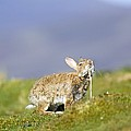 Adult Rabbit Marking Scent by Duncan Shaw