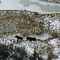 Aerial Of A Male And Female Moose by Norbert Rosing