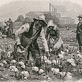 African Americans Pick Cotton by Everett