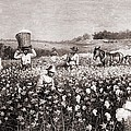 African Americans Picking Cotton by Everett
