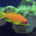 African Anthias by Sandi OReilly