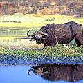 African Cape Buffalo, Photographed At by John Pitcher