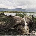 African Cape Buffalo Skull, Ngorongoro by Carson Ganci