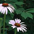 African Daisies 6  by Vivian Cosentino