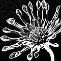 African Daisy In Black And White by George Pedro