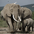 African Elephant Loxodonta Africana by John Sparks