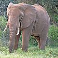 African Elephant by Tony Murtagh