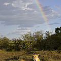 African Lion Adult Female With Rainbow by Suzi Eszterhas