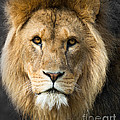 African Lion by Andrew  Michael