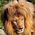 African Lion by Bill Dodsworth