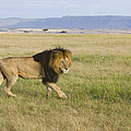 African Lion Male On Grassland Masai by Suzi Eszterhas