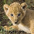 African Lion Panthera Leo Five Week Old by Suzi Eszterhas