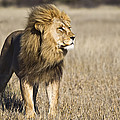 African Lion Panthera Leo Male, Khutse by Vincent Grafhorst