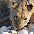 African Lion Panthera Leo Raiding by Peter Blackwell