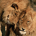 African Lion Panthera Leo Two Males, Mt by Michael & Patricia Fogden