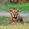 African Lion by Vudhikrai Sovannakran