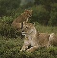African Lionesses In Masai Mara by Anne Keiser