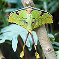 African Moon Moth 1 by Andee Design