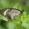 African Papilio Dardanus Butterfly by Kathy Clark