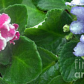 African Violets Intertwined I by Nancy Mueller